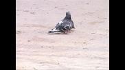 Любовта на гълъбите