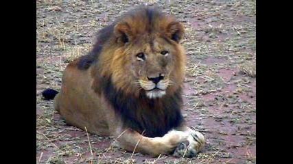 Снимки На Лъвове