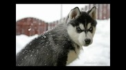 Картинки На Сибирски Хъскита