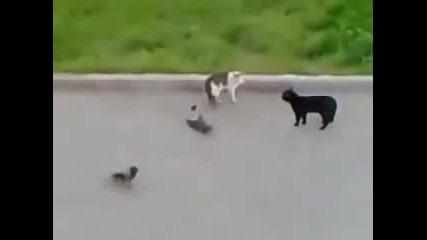 котешки бой
