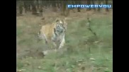 National Geographic - Сибирските Тигри