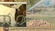 На какви специални грижи се радват козите боер във фермата край село Устина - На кафе (22.07.2016)