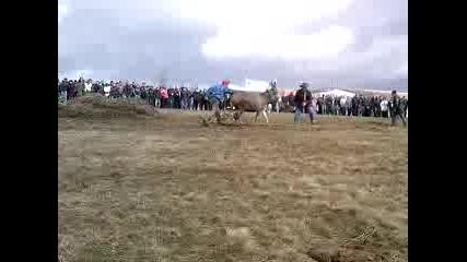 Магарешко Състезание В Село Зимевица - Много Смях ;д