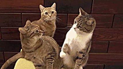 Забавни котки (non voice)