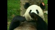 Енциклопедия На Животните - Панда