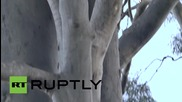 Australia: Car-hit koala mother Lizzy and her baby Phantom recover