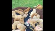 Много кученца спят при красиво момиче!