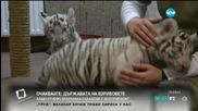 В Унгария показаха бели тигърчета