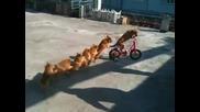 Кучета образуват влакче
