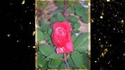 Червени рози - красота и нежно ухание- music Farid Farjad,авторски