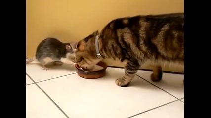Котка и плъх си поделят млякото