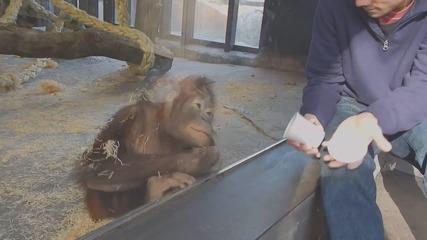 """Смях... Mаймунка наблюдава """"магически"""" трик. Вижте реакцията й."""