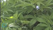 Morgan Freeman Calls for Marijuana Legalization