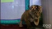 Бебе тигър 3
