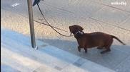Смях - Врана дразни вързано куче