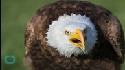 Crow Hitches Ride--On An EAGLE!
