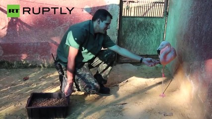 Flamingo Learns to Walk Again with New Prosthetic Leg