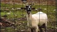 Смях! Джъстин Бийбър ft. Овцата - Baby