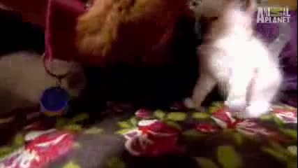 Сладки котенца се сприятеляват с Немска овчарка