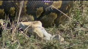 Гигантски Питон изяжда своята порция за една година