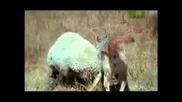 Вълк Срещу Овце