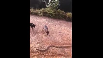 Огромна кобра срещу глутница домашни кучета.