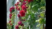 красотата на розата