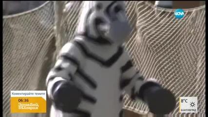 Какво може да се случи, ако зебра избяга от зоопарк?