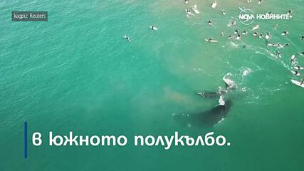 Турист, позиращ за снимка, счупи скулптура и Кит и малко китче плуваха с група сърфисти