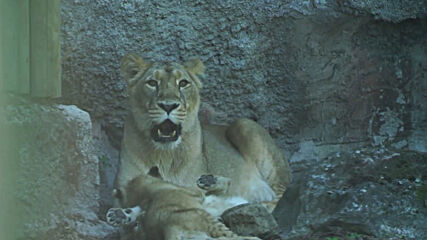 Italy: Ten-weeks-old lion cubs make debut at Rome zoo