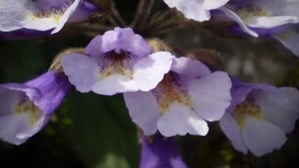 Кое е цветето на Орфей?