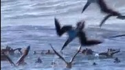 Албатросите на Галапаговските острови..