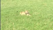 Лъвица похапва антилопа Гну