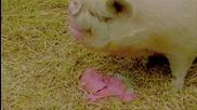 да се пукнеш от смях!!!прасе яде пудинг
