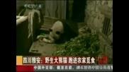 Озверяла от глад панда влезе в свинарник ! Смях !