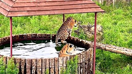 Siberian tigers from Vladivostok escape from heat in pool