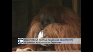 Орангутан предсказва резултатите на финала за Купата на Германия