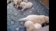 Новородени Кученца Породa Лабрадор