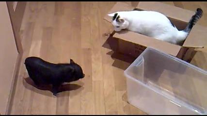 Котка си играе с малко прасенце :d