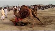 Борба свободен стил между камили