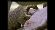 A free lunch for banded mongooses - Bands on the Run - Bbc