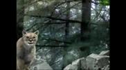 Вълк vs. Пума