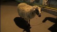 Овцата Лиса като себе си - Като две капки вода (24.03.2014г.)