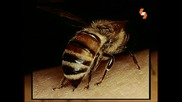Енциклопедия На Животните - Пчели