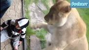Лъвица се опитва да изяде бебе. 2 Част !!!
