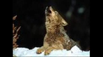 вълците бяс
