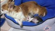 Любов между чихуауа и котенце ..