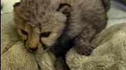 Малко сладурче - Бебе Гепардче