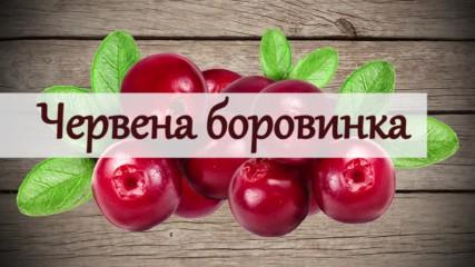 Червена боровинка – всички истини за действието й