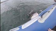 Голяма бяла акула напада надуваема лодка